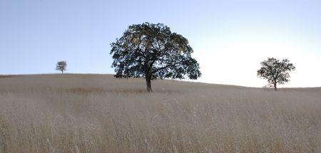 Oak trees in a golden feild in the hills.