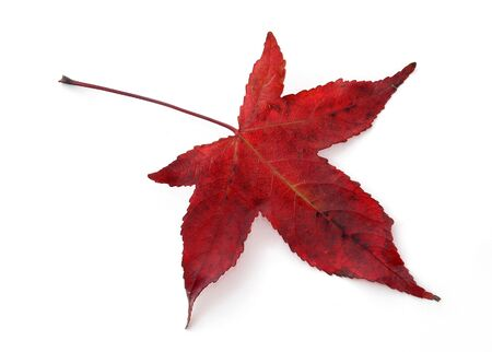 Single red maple leaf isolated on white. Species: Red Japanese Maple photo