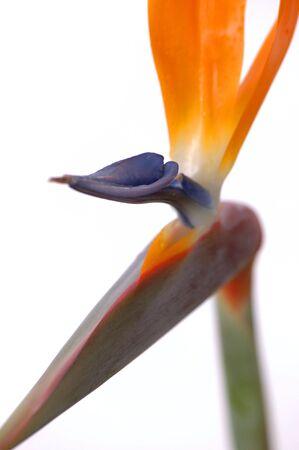 Bird Of Paradise flowers on white background. Shallow depth of focus on the blue shaped area of the flower. Latin name: Strelitzia Reginae. photo