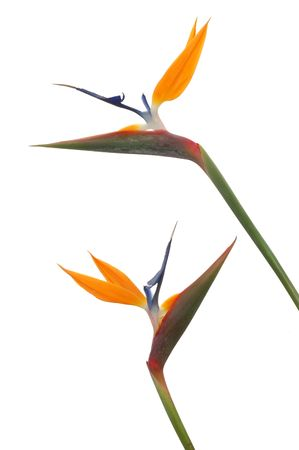 Bird Of Paradise flowers on a white background.
