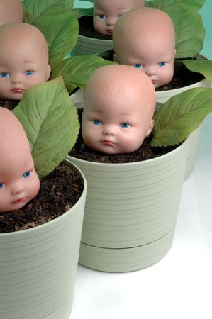 Multiple (plastic)  heads being grown in soil filled pots.