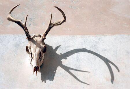 Deer crâne avec des bois avec une forte ombre sur une surface peinte.  Banque d'images