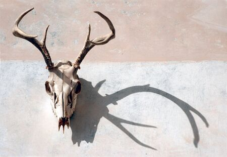 animal skull: Deer skull with antlers with strong shadow on a painted surface.