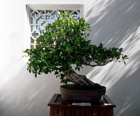 Bonsai tree in a traditional setting.
