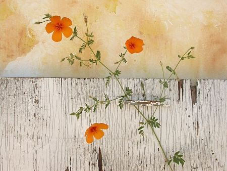 Wildflower Poppies in a rustic setting. Stock Photo