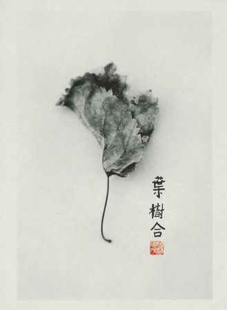 Still life photograph of Mulberry leaf printed on Kozo paper with hand applied Chinese calligraphy. The characters are Tree, Leaf, and Harmony.