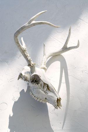 Deer skull photographed on white.  Reklamní fotografie