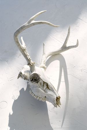 Deer skull photographed on white.  Stock Photo