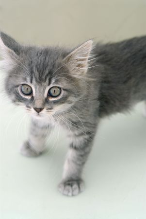 bigodes: Portrait of a grey kitten. Blows up nice; the whiskers are very detailed.