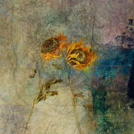 Two wind dried sunflowers. Photo based illustration.