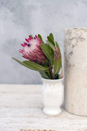 Still life photograph of a Protea flower in the studio.  Stock Photo