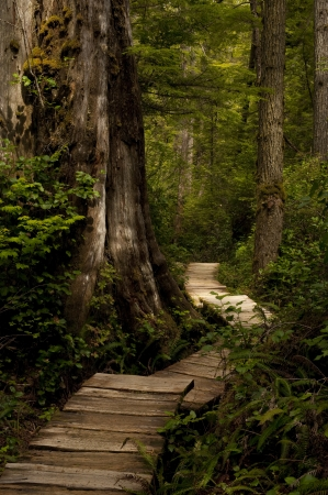 A cedar wood pathway through the forest.  Stock Photo