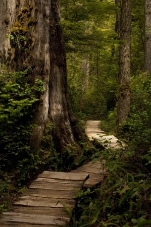 A cedar wood pathway through the forest.  Foto de archivo