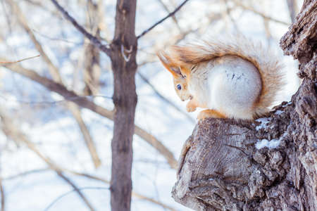 Live squirrel sits on a tree branch in a winter forest against a sky background