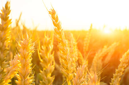 bright sunset in the field of wheat spikes Stockfoto