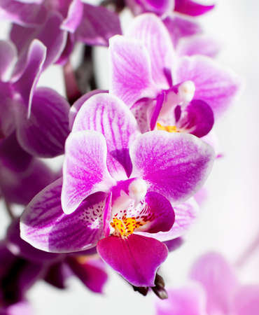 macro pink orchid flower. background with purple flowers.