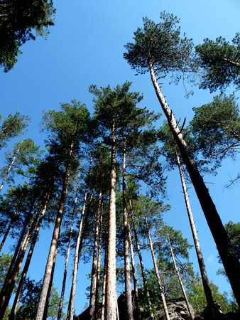Photo of pine trees against the blue sky. Natural landscape background.