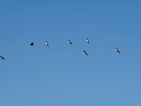 Photo of birds swallows sitting on wires against a clear blue sky. Natural background.