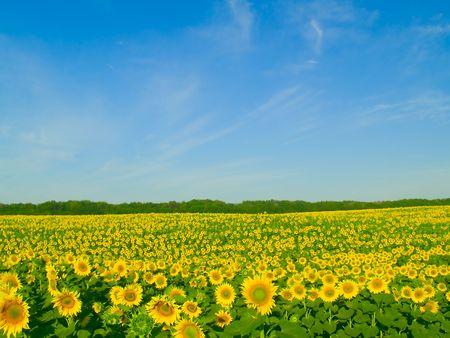 soleil rigolo: Champ de tournesols et le ciel bleu Banque d'images