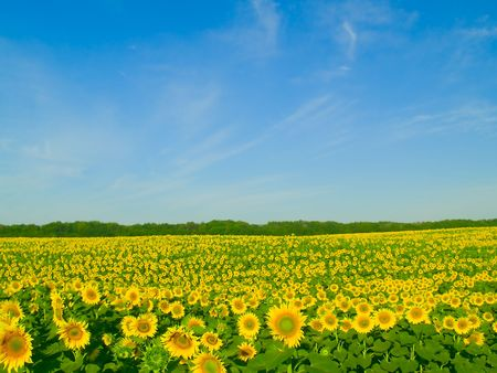 Field of sunflowers and the blue sky  Stock Photo
