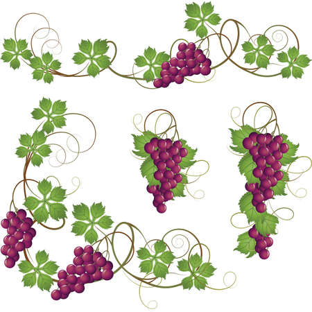 purple grapes: A set of elements from the vine for decoration Illustration