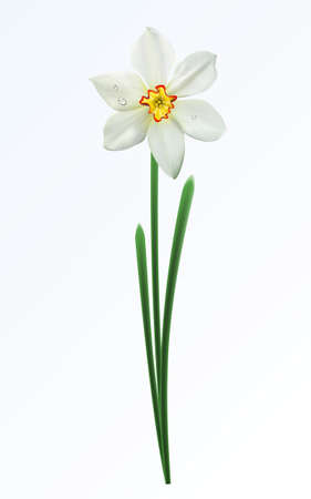 A single spring flower on a white background Stock Vector - 4381417