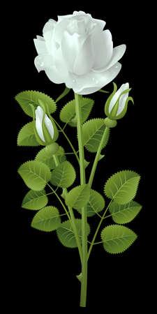 black rose: White rose on a black background