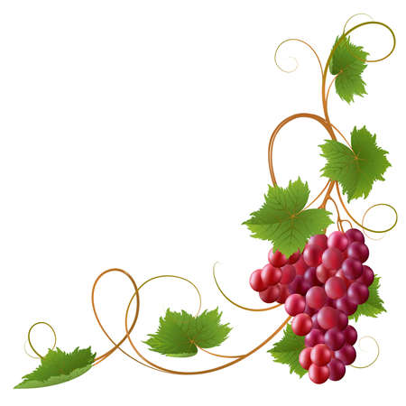 grapes on vine: Red vine on a white background