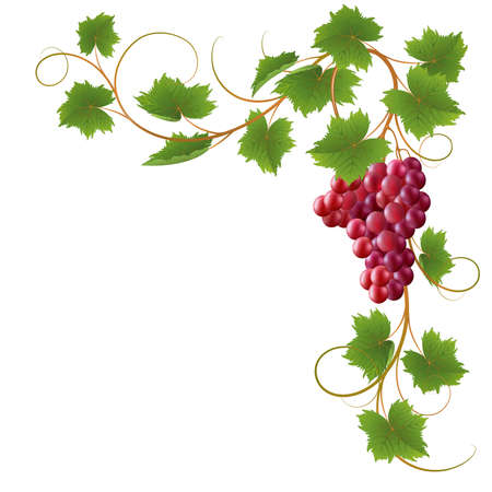 purple grapes: Red vine on a white background