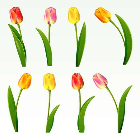 spring out: Conjunto de ocho tulipanes sobre un fondo blanco