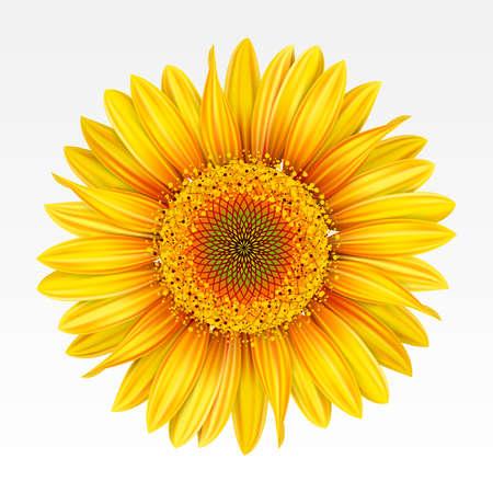 zonnebloem: Gele zonnebloem op de witte achtergrond. Mesh.