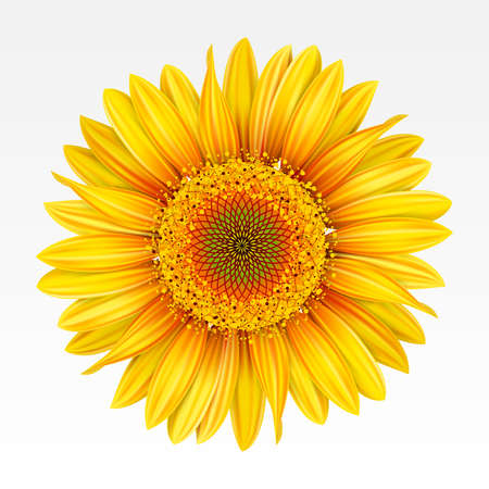 Yellow sunflower on the  white background. Mesh. Vector