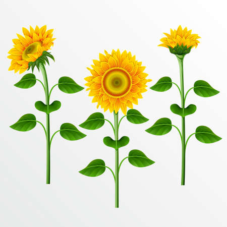 Collection of yellow sunflowers on the  white background. Stock Vector - 9828096