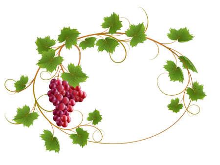 on the vine: Vid roja sobre un fondo blanco