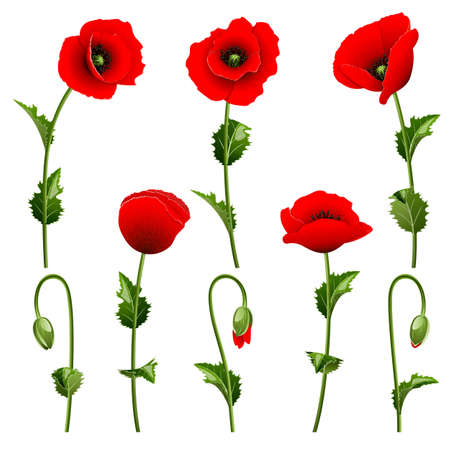 poppy leaf: Set from red poppies on the white background