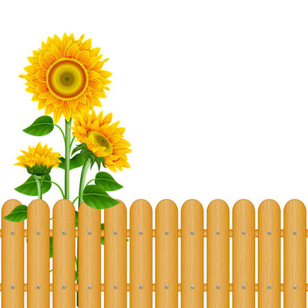 Sunflowers and a fence on a white background Illustration