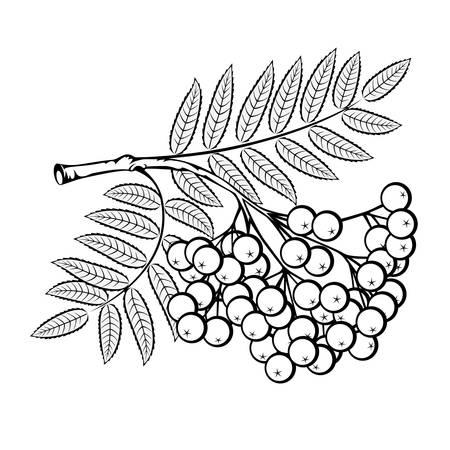 Rowan branch on a white background Ilustracja