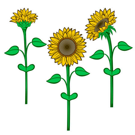 Sunflower flower vector drawing set. Isolated on white background