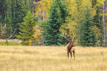 canadian rockies: Deer with antlers in Canadian Rockies Mountains