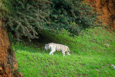 Tiger in Cabarceno Natural Park Reklamní fotografie
