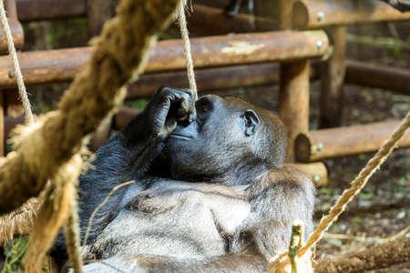 Orangutan in Cabarceno Natural Park, Cantabria