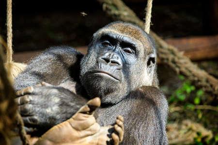 Orangutan in Cabarceno Natural Park, Cantabria Reklamní fotografie - 92175386