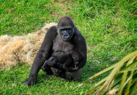 Gorilla in Cabarceno Natural Park, Cantabria Reklamní fotografie