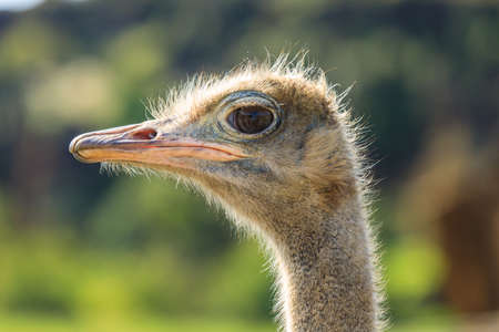 Ostrich in Cabarceno Natural Park, Cantabria 스톡 콘텐츠