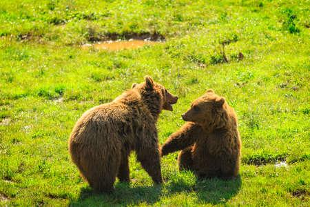 カバルチェノ自然公園のクマ、カンタブリア 写真素材