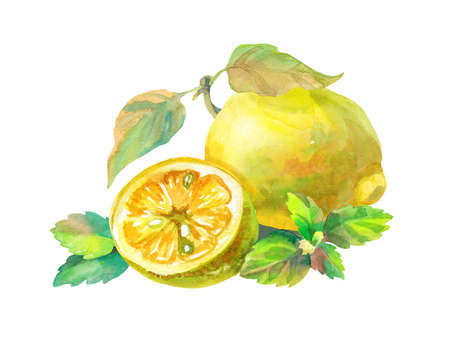 Lemon mint and half citrus. Hand drawn watercolor illustration. Design for printing tags, logos, organic food packaging, clothing, phone cases.