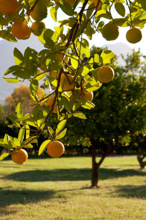 A green leafy tree full of yellow lemons on a warm summer day Stock Photo