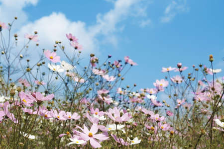 Field of beautiful wild pink and white cosmos flowers in South Africa photo