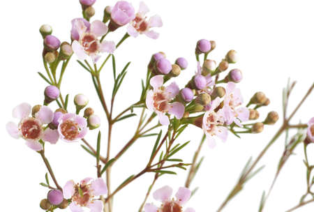 Macro shot of beautiful pink flowers isolated on white background. Very shallow depth of field photo