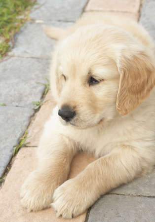 obedient: Small obedient golden retriever puppy lying down on the pavement